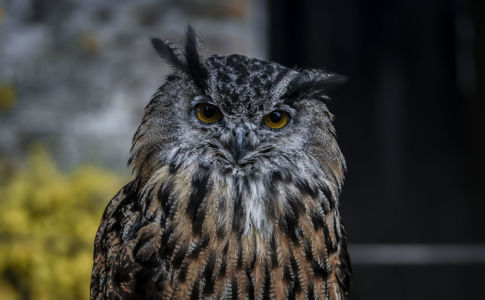 Owl, East Sutherland And Edderton Ward, Backies, Scotland