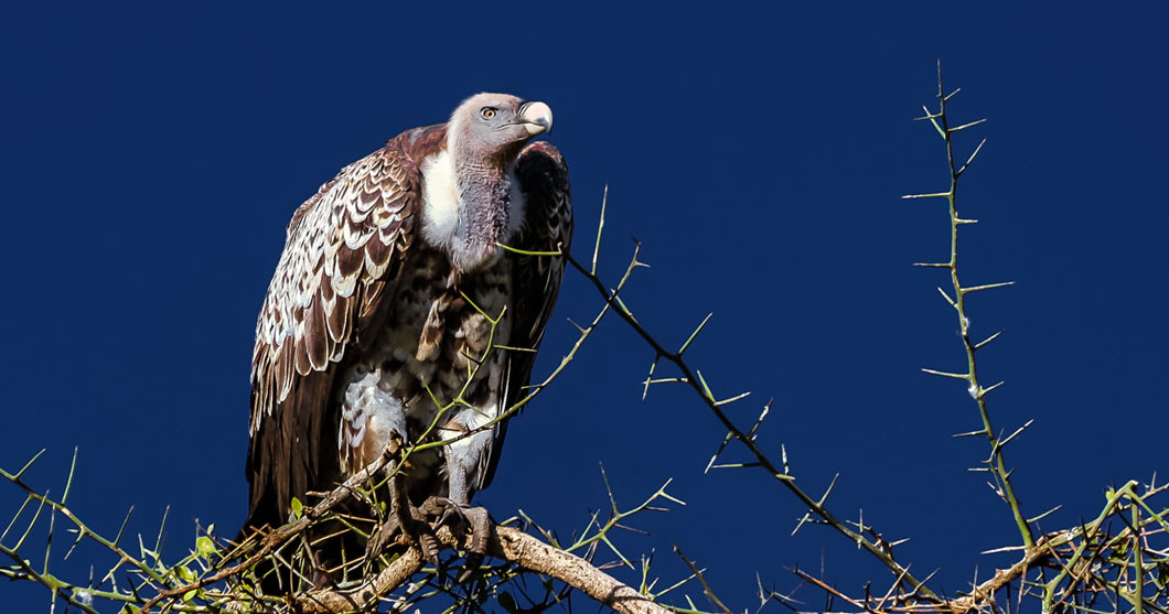 Kenia Article - Vulture