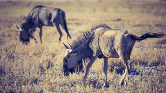 Halali, Namibia, GPS (-18,980358; 16,437463)
